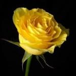 Graveside Roses